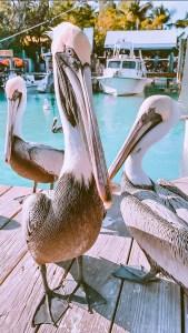 pelicans on the dock at Robbie's of Islamorada