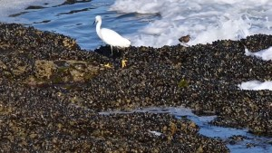 Egret in tide pools