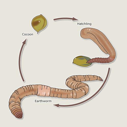 cricket life cycle diagram online wiring maker earthworm earthworms te ara encyclopedia of new zealand