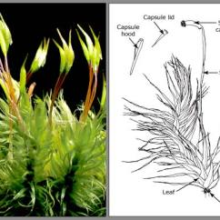 Life Cycle Of Moss Plant Diagram Mitsubishi Wiring Structure – Mosses Te Ara Encyclopedia New Zealand