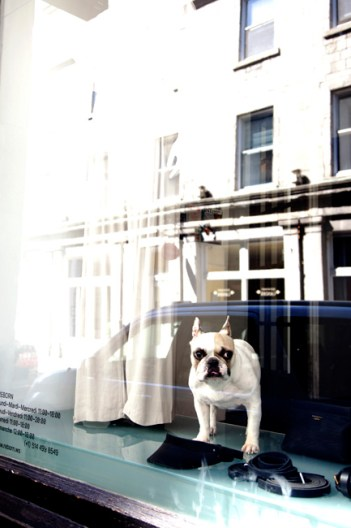 Cute French Bull Dog in shop window