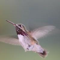 pause_in_flight_calliope_hummingbird