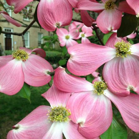 Nothing says spring quite like a pink dogwood.