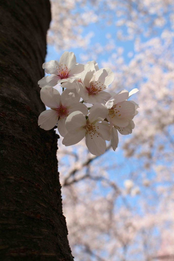 Soaking up the unbelievable cherry blossoms in DC. It's really worth the hype!! | Teaspoon of Nose