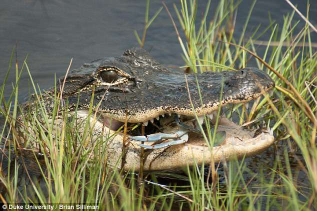 Alligators And Other Predators Start To Reappear In New Ecosystems