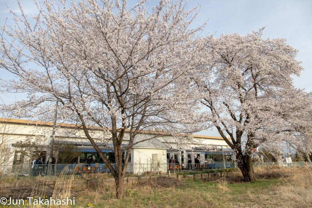 小海線と満開の桜
