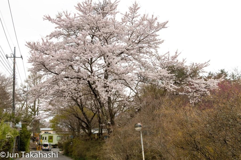 小海線と桜