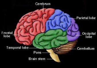Venus, Mars and the Frontal Lobe