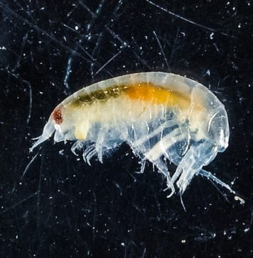 Lysianassidae Found Under Antarctic Ice Shelf