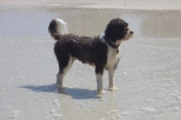 Portuguese water dog. Owning a dog may be associated with having a longer life.