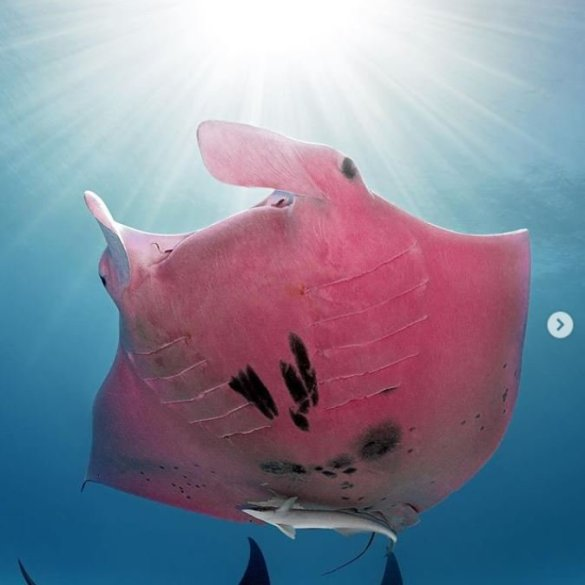 pink manta instagram