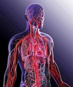 illustration of human cardiovascular system