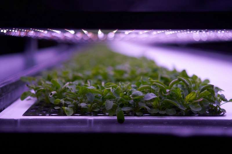 From floor to ceiling, produce grows in layered racks at the vertical farm opened by Nordic Harvest in a massive warehouse in a