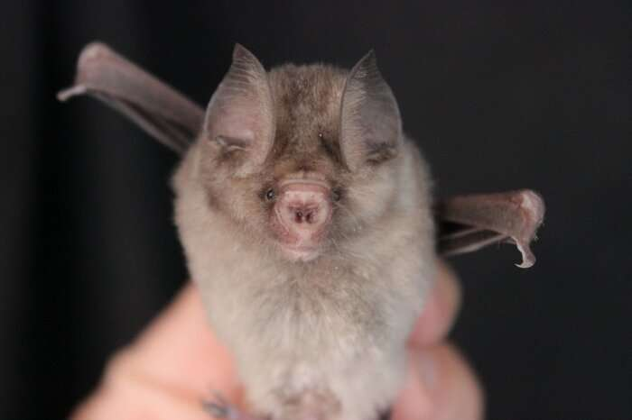 Bugs find bats to bite thanks to bacteria