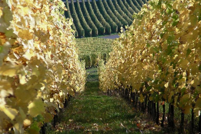 Украина может потерять виноградники