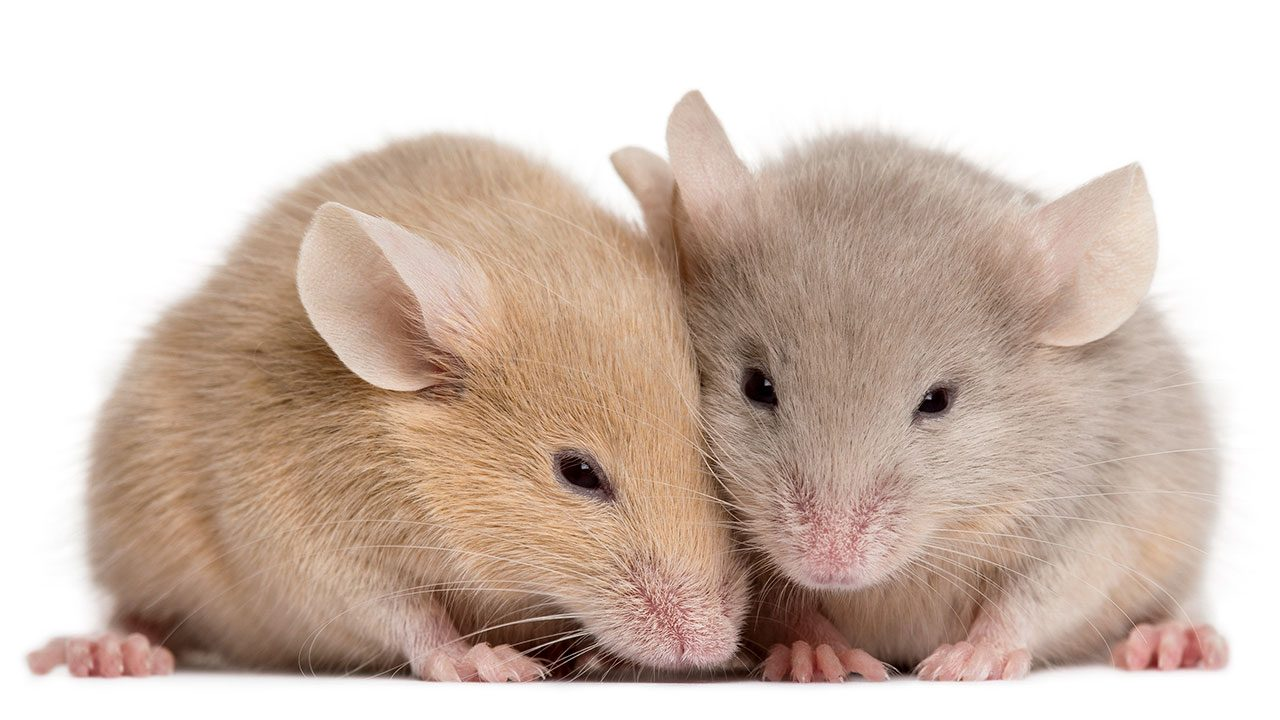 AI decodes that Mice have a range of facial expressions