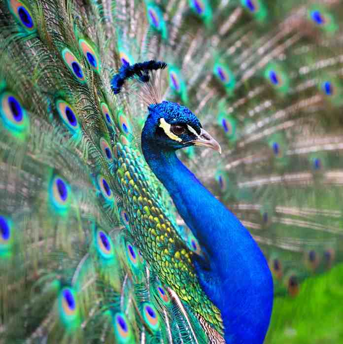 What Are the Colors in a Peacock's Feathers?