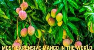 Most Expensive Mango In The World, Which Is The Most Expensive Mango In The World?