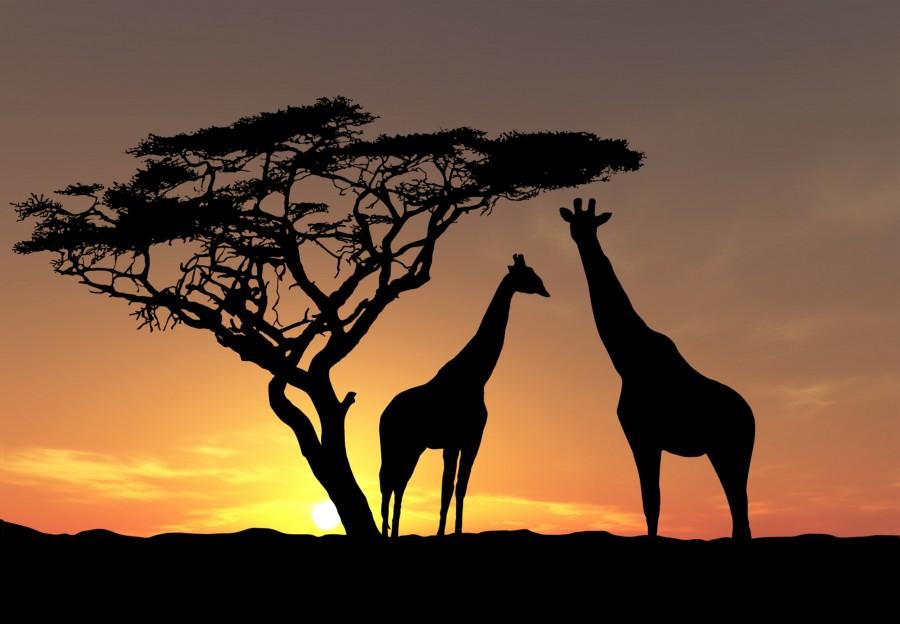 Animals-Africa-wildlife-giraffes-trees-sky-photo-evening-sun-sunset
