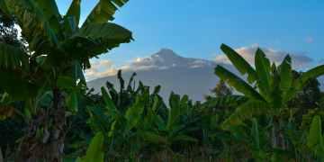 banana trees under clear sky