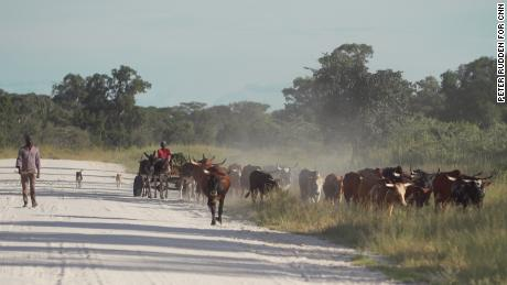 Farmers move cattle within the area ReconAfrica has gained rights to. Climate scientists warn that in just 30 years, unless aggressive mitigation efforts are imposed, the way of life in Kavango will be untenable.