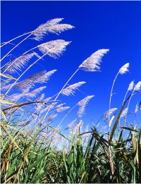 Sugar cane (USDA.gov)