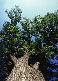 Elm tree (Agricultural Research Service/USDA)