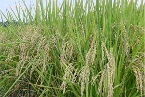 Mature rice (Agricultural Research Service, USDA)