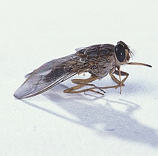 Tsetse fly (Agricultural Research Service, USDA)