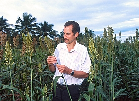 Flowering sorghum (Agricultural Research Service/USDA)