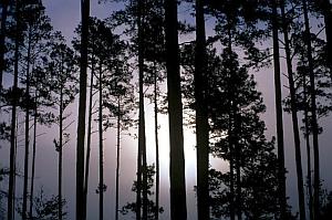 Loblolly pines (USDA.gov)