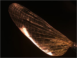 Replica of an insect wing made from shrilk (Wyss Institute, Harvard University)