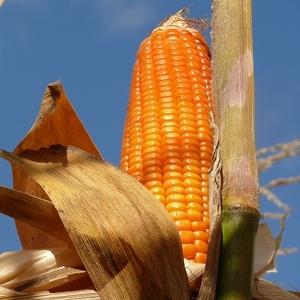Orange corn