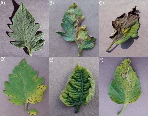 PlantVillage images