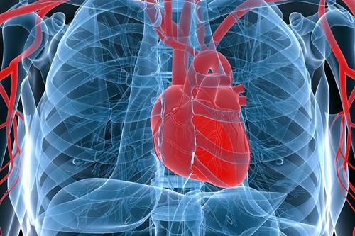 Heart in rib cage illustration