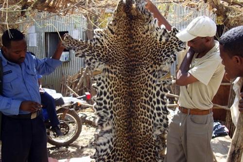 Seized leopard skin