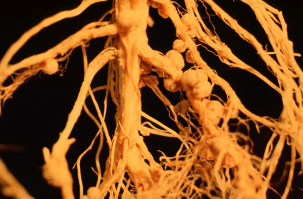 Roots and soil microbes
