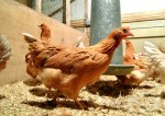 Genetically-modified chickens