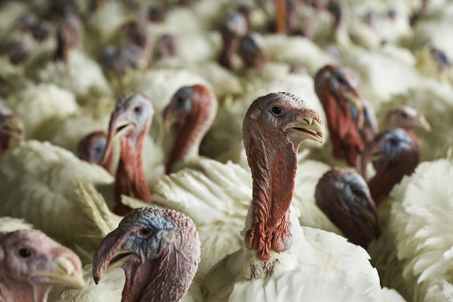 Turkeys