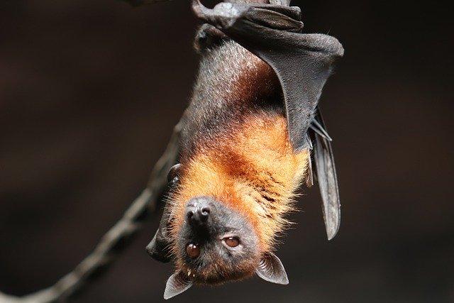 Bat hanging upside down