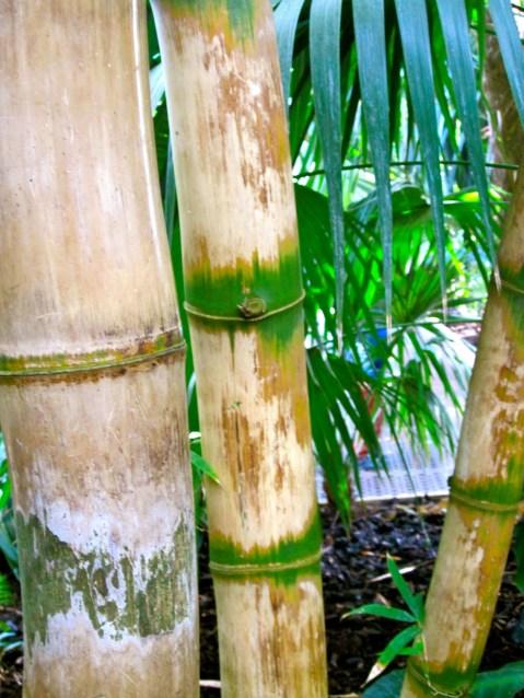 Kew Bamboo