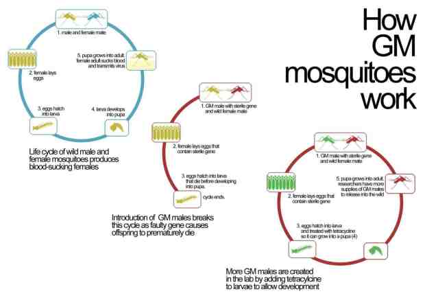 how genetically modified mosquitoes work