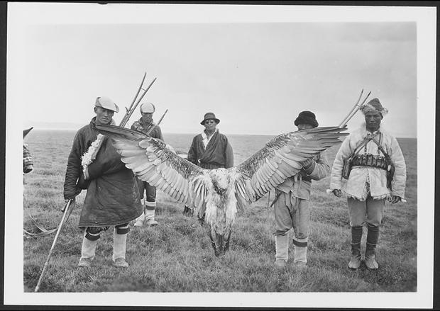 vulture lammergeier