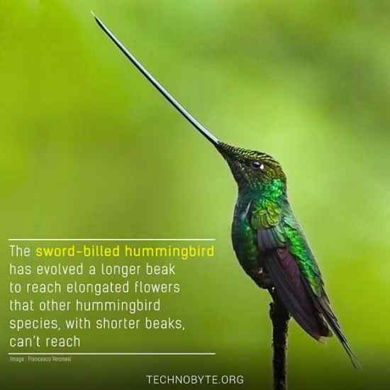 Sword-billed hummingbird interesting fact wildlife bird FI