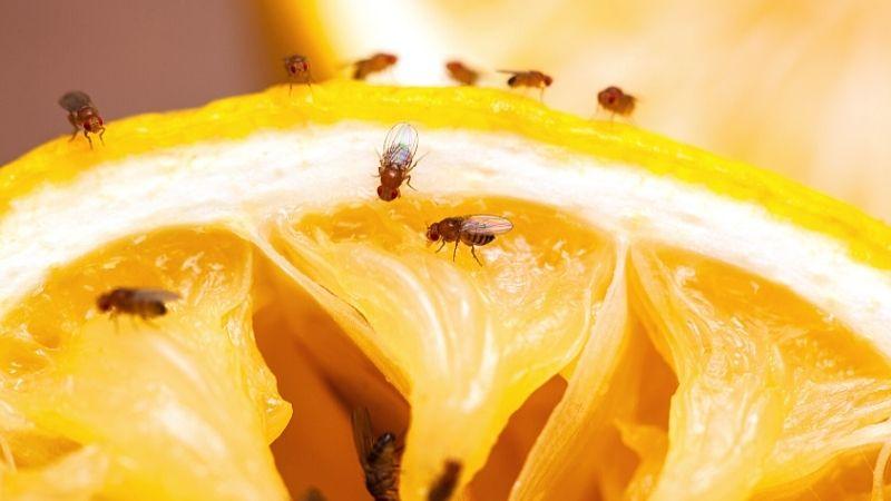 muszki owocówki jak się pozbyć