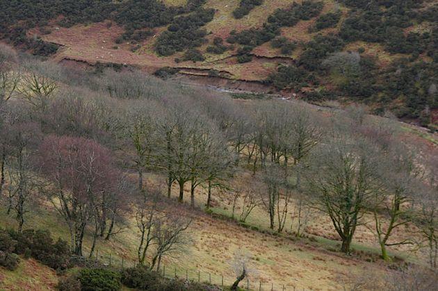Purple Winter Beech Trees