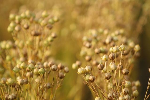 flax seed plant