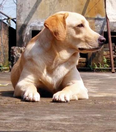 labrador dog images