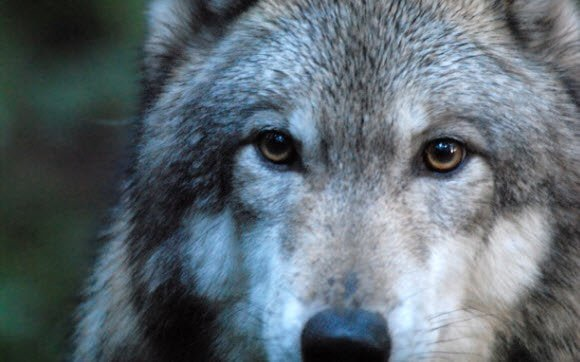 Free Download Wolves theme for Windows 7 Scary Eyes