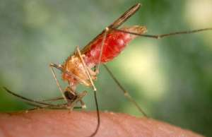 a new fight against mosquito driven viral diseases by infecting mosquito with bacteria
